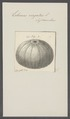 Echinus virgatus - - Print - Iconographia Zoologica - Special Collections University of Amsterdam - UBAINV0274 107 02 0023.tif