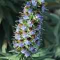 Echium candicans-IMG 0301.jpg