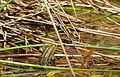 Edible Frog (Pelophylax esculentus) (17036992258).jpg