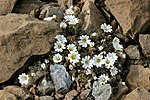 Edmondston's Chickweed, Keen of Hamar CRW 2437.JPG
