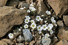 Edmondston's Chickweed, Keen of Hamar CRW 2437