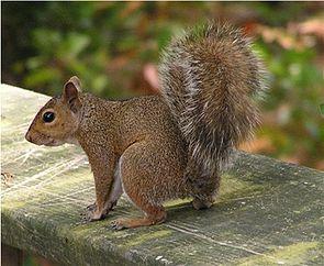 Grauhörnchen (Sciurus carolinensis)