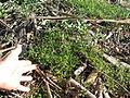 Einadia nutans subsp nutans plant7 (16314273165).jpg