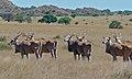 Elands (Taurotragus oryx) (6568306405).jpg