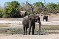 Elefante africano de sabana (Loxodonta africana), parque nacional de Chobe, Botsuana, 2018-07-28, DD 19.jpg