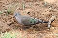 Emerald-spotted Wood Dove, Turtur chalcospilos at Marakele National Park, South Africa (13971648967).jpg