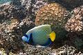 Emperor angelfish Pomacanthus imperator (7504787102).jpg
