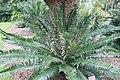 Encephalartos gratus 2zz.jpg