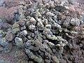 Encroutement algal ou bactérien sur restes de fil de pêche dans la Sèvre niortaise photo F Lamiot 06.jpg