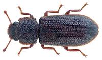Endeitoma granulata (Say 1826) (27302363094).png