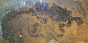 Fossil von Eomanis waldi