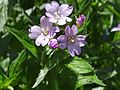 Epilobium roseum T69.2.jpg