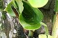 Epipremnum aureum 2zz.jpg