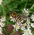 Epistrophe grossulariae - Flickr - gailhampshire.jpg