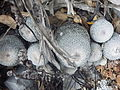 Epithelantha gregii (5661765949).jpg