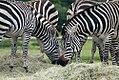 Equus quagga boehmi 9zz.jpg