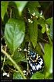 Erasmia pulchella hobsoni (15708435461).jpg
