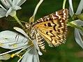 Erebidae - Euclidia (Callistege) mi-001.JPG