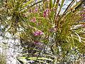 Erica carduifolia.jpg
