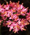 Erica corifolia 5Dsr 2666.png