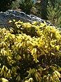 Erica nana KirstenboschBotGard09292010C.JPG
