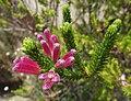 Ericaverticillata.jpg
