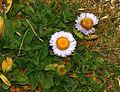 Erigeron glaucus (Seaside Daisy) - Flickr - S. Rae.jpg