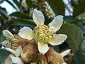 Eriobotrya japonica M1.jpg