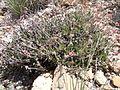 Eriogonum umbellatum (5451978524).jpg