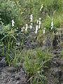 Eriophorum latifolium01.jpg