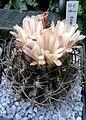 Eriosyce paucicostata 1e.jpg