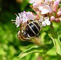 Eristalis sp. - Flickr - gailhampshire (10).jpg