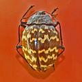 Erotylidae - Erotylus histrio.JPG