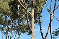 Eucalyptus Deglupta Tree. Dole Plantation, Plantation Rd, Wahiawa - panoramio (1).jpg