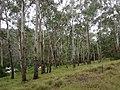 Eucalyptus at the camping area (3479470261).jpg