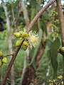 Eucalyptus camaldulensis 02.JPG