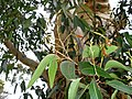 Eucalyptus cladocalyx leaves and bark (1).jpg