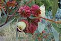Eucalyptus kingsmillii (13820333695).jpg