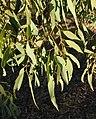 Eucalyptus microtheca foliage.jpg