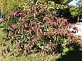 Euonymus grandiflorus-Jardin des plantes 12.JPG