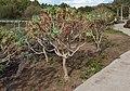 Euphorbia bravoana - Jardín Botánico Canario Viera y Clavijo - Gran Canaria 001.jpg