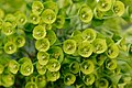 Euphorbia characias Jardin des Plantes 2013-04-20.jpg