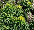 Euphorbia jacquemontii 1.jpg
