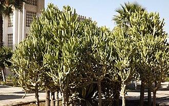 Obour (city) - Image: Euphorbia lactea at Obour by Hatem Moushir