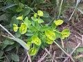Euphorbia platyphyllos sl25.jpg