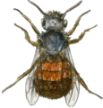 European orchard bee (female) watercolour.png