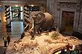 Fényköv Elephant - Smithsonian Natural History.JPG