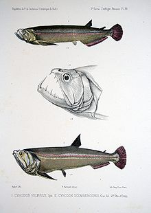 Payara - Wikipedia, the free encyclopedia