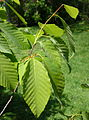 Fagus engleriana - Morris Arboretum - DSC00476.JPG