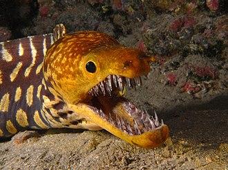 Moray eel - Image: Fangtooth moray